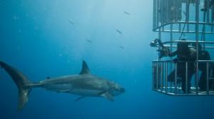 Buceo con tiburones blancos en Sudáfrica