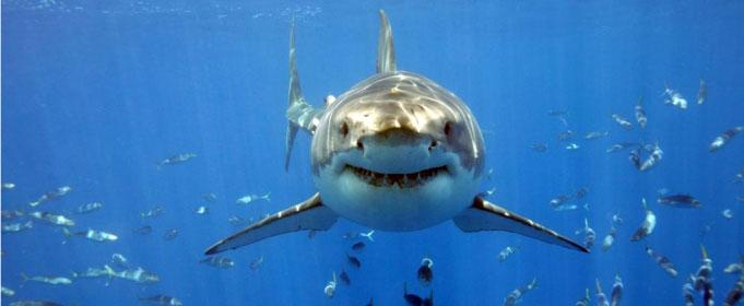 Buceo con tiburones blancos en Sufáfrica